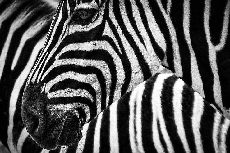 A picture of a zebra to illustrate how learning SEO is an adaptation for therapists new to owning a small business. Simplified SEO Consulting.