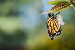 Monarch Butterfly, Danaus Plexppus, newly emerged from Chrysalis - images like this can help speak to Christian Counseling clients. A private practice consultant can help you start a Christian Counseling Practice
